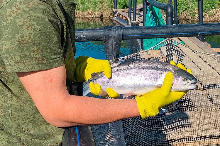 Рыбу от TATFORELзакупают многие рестораторы изКазани, настадии заключения договор с«Ашаном», также продукцию можно купитьнаКолхозном рынке ивАгропромпарке вКазани