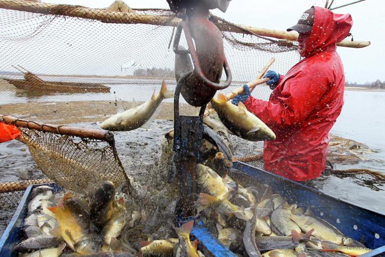 Производство товарной рыбы в РТ в 2020 году составило 287,7 т, рыбопосадочного материала — 271,2 тонн. Для сравнения, в 1980-е годы в Татарстане выращивалось по 600-700 тонн товарной рыбы в год