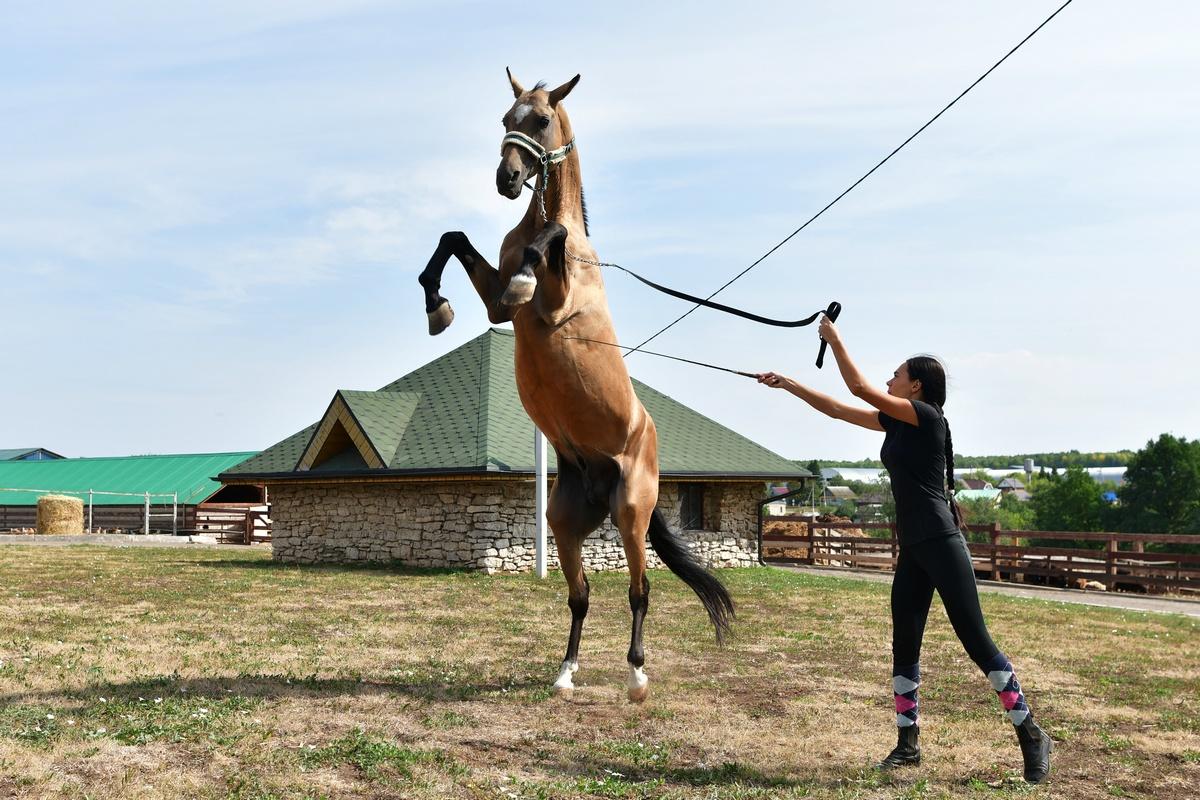 Сегодня вхозяйстве содержатся лошади разных пород: ахалтекинцы, тракененскиелошади, изСанкт-Петербурга привезли ганноверского жеребца