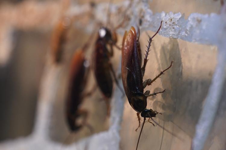 «Встретив дома таракана, нестоит надеяться, что онубежит, иневернется. Довольно скоро придется встретить его снова, причем спотомством. Каждая беременная самка носит до50яиц. Уже через 3 месяца после рожденияпоявится следующее потомство. Размножаются тараканы круглый год»