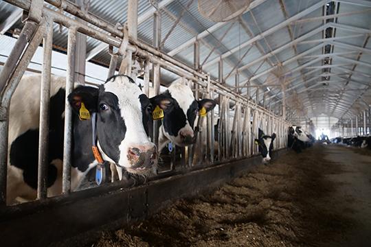 Увидев прессу, коровы стали нервничать, ауправляющий отметил, что буренки, скоторых, кстати, ежедневно надаивают по41 тоннемолока, настораживаются, увидев чужих людей, авот Хайруллина они принимали как родного