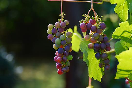 «В одиночку серьезно и успешно заниматься виноградарством просто невозможно. Пока ты циклишься на нескольких десятках сортах, за пределами твоего участка уже могут появиться новые, новые технологии»