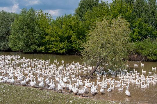 КФХ «Хазеева» специализируется навыращивании гусей, как сказал глава семействаРастам Хазеев, сейчас они держат 3,7тыс. голов