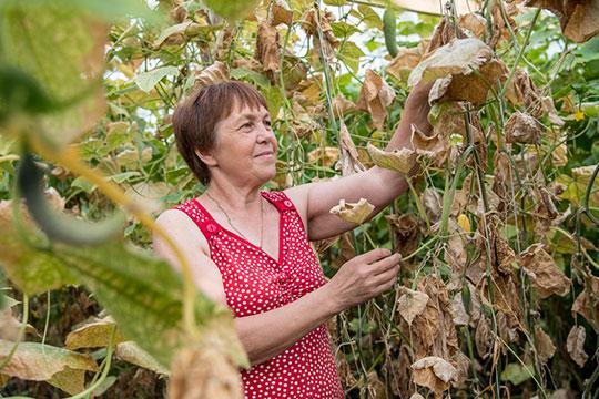 ВалентинаИльина сгордостью рассказывает, что выращивает три сорта огурцов— «Апрельские гладкие», «Раис» и«Кураж»