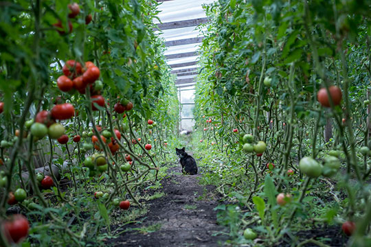 «Помидоры, огурцы, перец. Урожайность вэтом году хорошая. Вдень по200 кгполучается собрать, сейчас чуть-чуть поменьше»