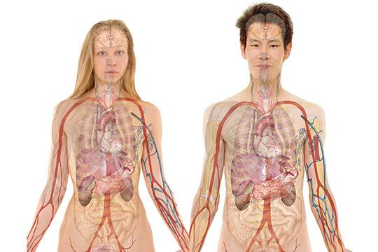 Почки, как ивсе внутренние органы, обладают подвижностью — при движении диафрагмы вовремя дыхания почки совершают движение около 3см, азасутки «проходят» до600 метров!