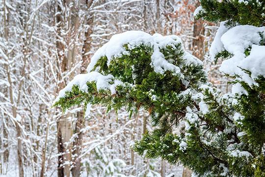 «Роль вечнозелёных хвойников в аскетичном зимнем саду и в серое межсезонье трудно переоценить»
