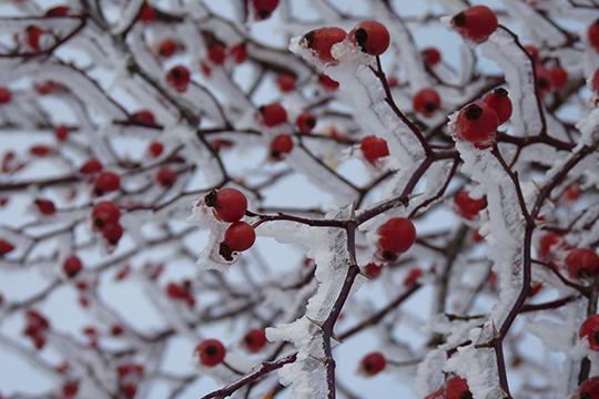 «Вызревшие и оставшиеся висеть на ветках подмороженные плоды расставят недостающие акценты в зимних композициях»