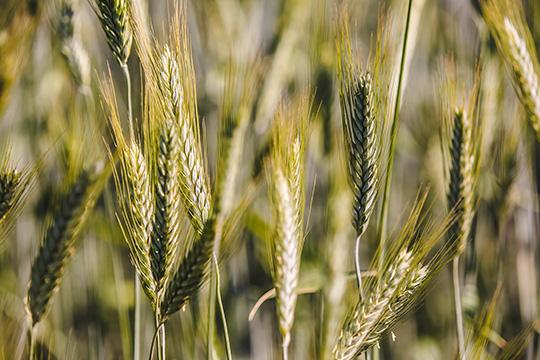 «Рожь полностью выращиваем наполях своей агрофирмы, ячмень растим напродажу. Попшенице год был хорошим, имызакрыли свои потребности примерно на60 процентов, остальное покупаем уместных производителей»