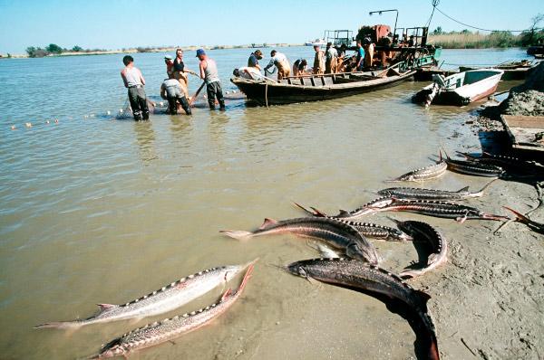 Росрыболовство: Нерест будет катастрофическим. Тысячи тонн невыжившей рыбы!