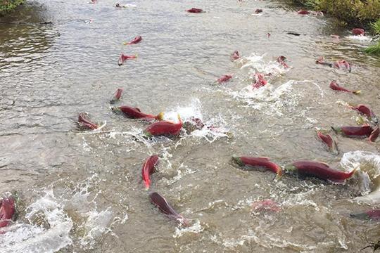 «Там бывает совершенно безумный нерест осетровых рыб, и можно увидеть медведей, которые приходят объедаться этой рыбой перед тем, как впасть в спячку»