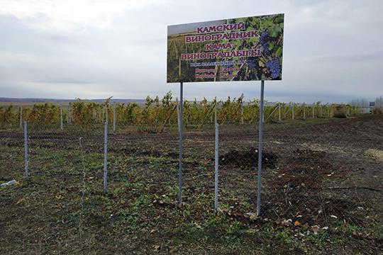 «Если все-таки говорить глобально, то я предлагаю правобережье Волги — Тетюшский, Верхнеуслонский районы, особенно Камско-Устьинский — засадить виноградом»