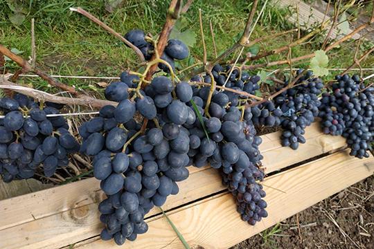«Что касается цен на наш татарстанский виноград, стоит он в районе 200–250 рублей за килограмм»