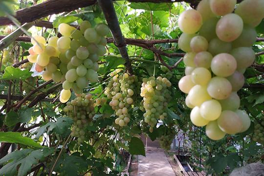 «Винограддолжен стать новым витком всфере туризма иаграрного хозяйства вТатарстане»