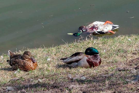 «Отравленное зерно и стекла»: почему утки на Булаке поплыли брюхом кверху?