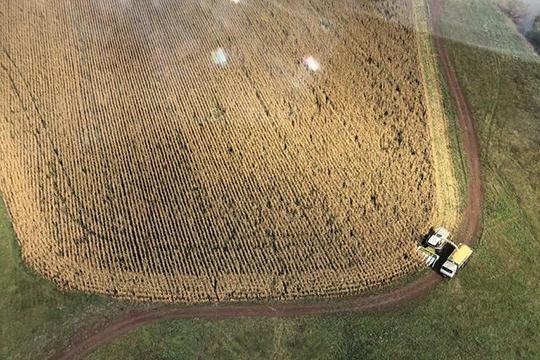 Дикие кабаны поели ипотоптали поля кукурузы вхозяйствах холдинга «Красный Восток Агро»