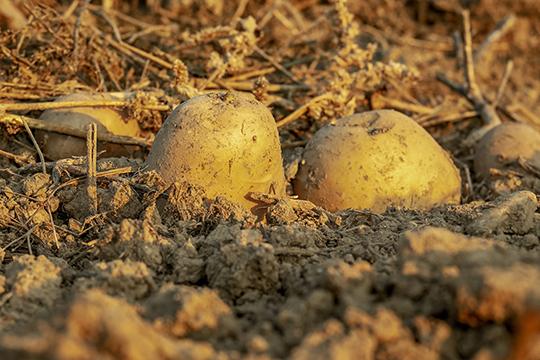 Какую почву выбрать? Предпочтительнее легкие суглинки, лесной чернозем, картофель любит также иподзолистую почву