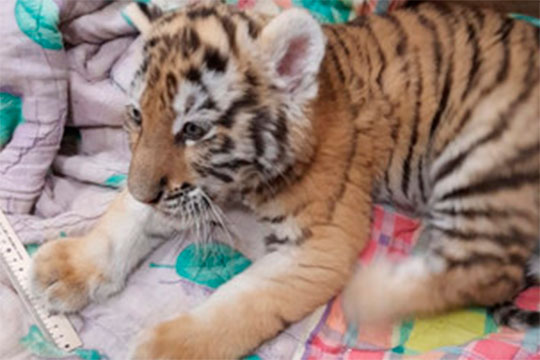 На днях стало известно о смерти тигренка Луны, которого в феврале изъяли при ликвидации нарколаборатории в Набережных Челнах