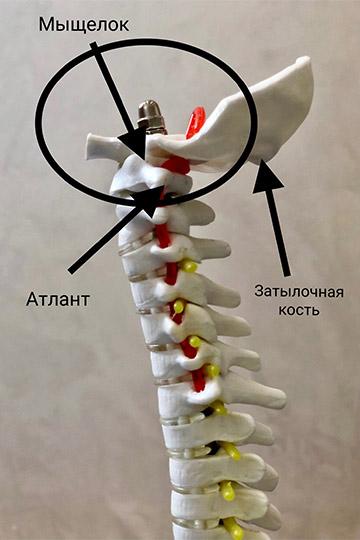 Первый шейный позвонок или атлант является нетипичным шейным позвонком из-за своего анатомического строения. Атлант с помощью мыщелков соединяется с затылочной костью и является «ключом» к движению сгибания-разгибания головы