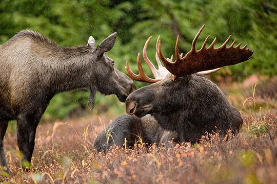 Охотники Челнов и Тукаевского района бьют тревогу. В преддверии нового сезона охоты на лося они требуют на два года запретить добычу копытных, иначе этих животных в лесах просто не останется