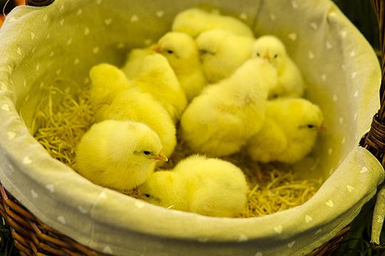 «Цыплят мог взять только человек, у которого на этот счет есть хорошее прикрытие, у которого тоже много цыплят. Сколько их у него бегает, никто точно считать не будет»