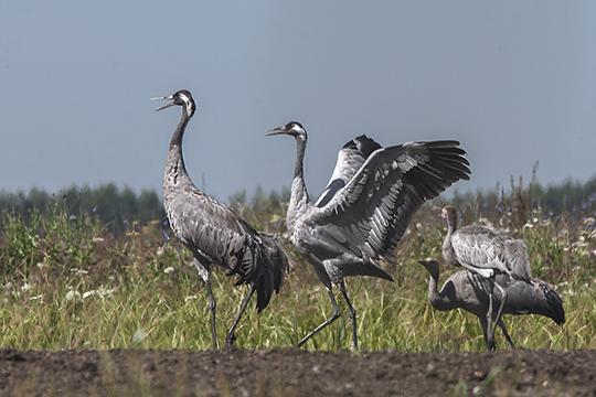 «Журавли очень умные птицы, они садятся как правило вцентре поля, всамом труднодоступном месте. Поэтому подобраться кним близко— трудно»
