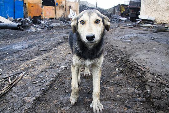 «Япредполагаю, что вЧелнах неменьше 3–4 тысяч бездомных собак»